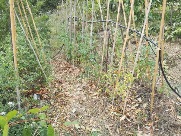 Filare pomodori con sistema subirrigazione.